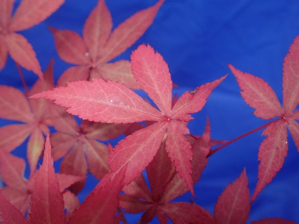 Acer palmatum 'Long men'